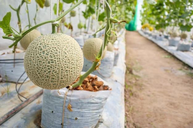 Melony kantalupa rośliny rosnące w ogrodzie szklarniowym