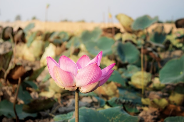Menchie lotos w lecie.