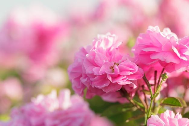 Menchii róży krzaka zbliżenie na śródpolnym tle
