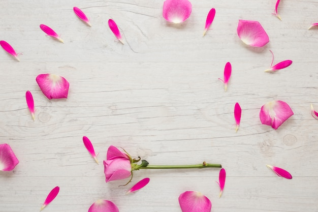Menchii róży kwiat z płatkami na światło stole