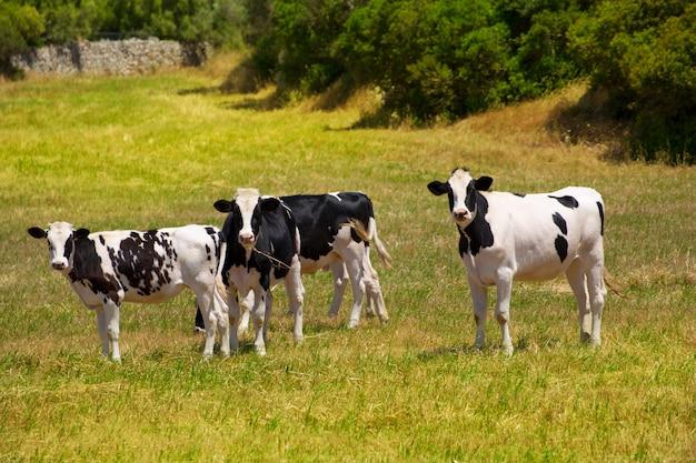 Menorca fryzyjczyka krowy bydła pasanie w zielonej łące