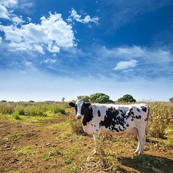 Menorca fryzyjski krowy pasanie blisko ciutadella balearic