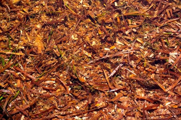 Menorca posidonia algi suszone na brzegu tekstury