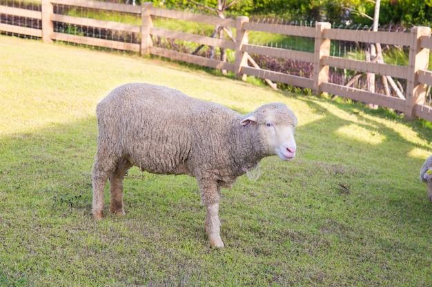 Merino stoi na zielonym pastwisku w fram