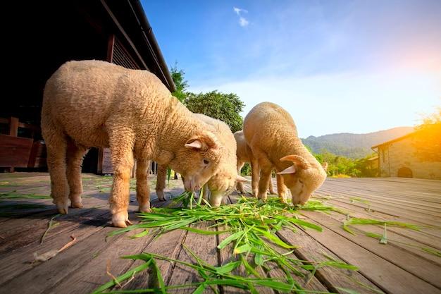 Merynos owce jedzenia trawy luzi w gospodarstwie wiejskim