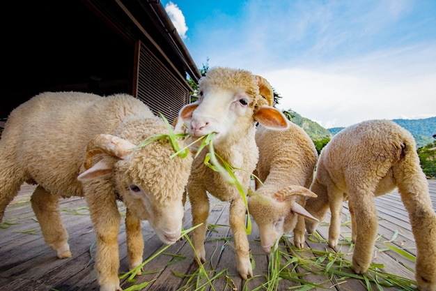Merynos owce jedzenia trawy ruzi pozostawia na drewno ziemi wiejskiej farmie ranczo