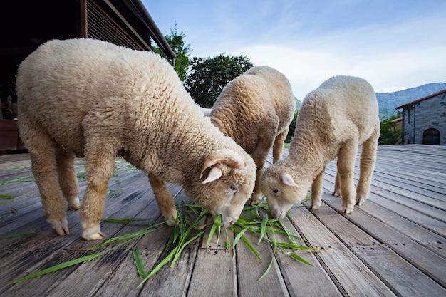 Merynos owce jedzenia zielonych liści trawy w hodowli zwierząt gospodarskich