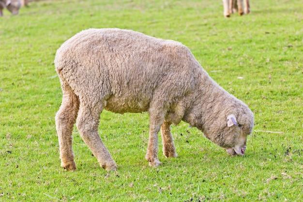 Merynos owiec na farmie