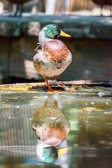 Męska mallard lub oblewająca kaczki pozycja na jeden nodze z odbiciem, tajlandia