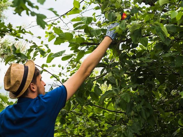 Męska ogrodniczka podnosi czerwonego jabłka od drzewa