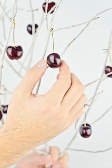 Męska ręka podnosi dojrzałe wiśnie