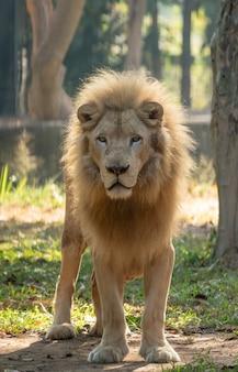 Męski biały lew w zoo