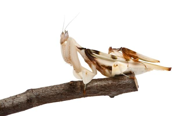 Męski i żeński hymenopus coronatus, malezyjska storczykowa modliszka na gałąź ,.