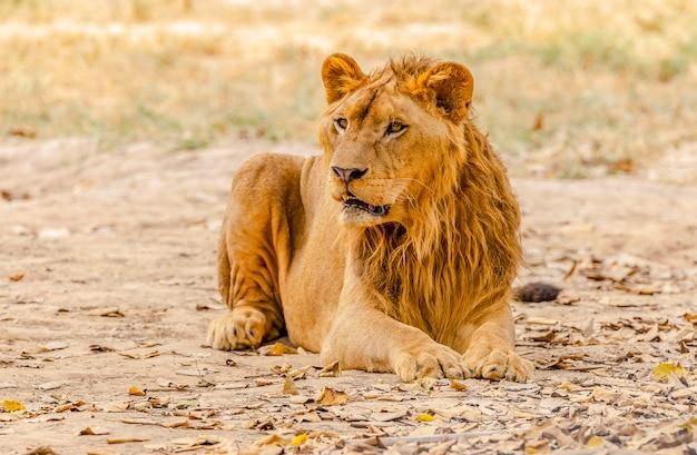 Męski lew czuje osamotniony