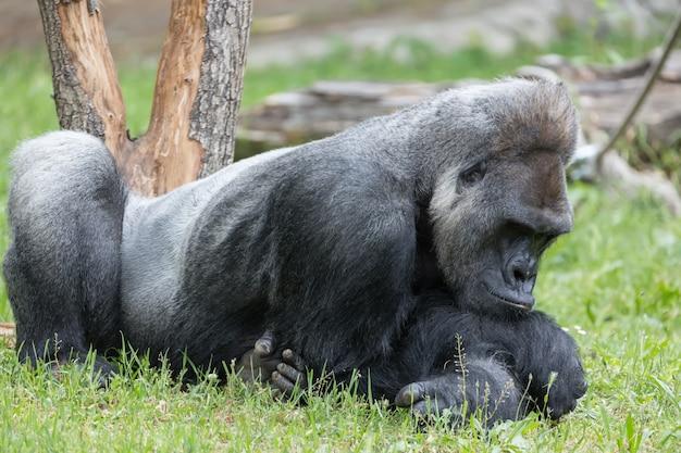 Męski silny goryl odpoczywa na ziemi