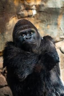 Męski zachodni goryl patrzeje wokoło