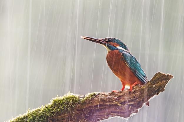 Męski zimorodek w ulewnym deszczu ze słońcem świecącym od tyłu.