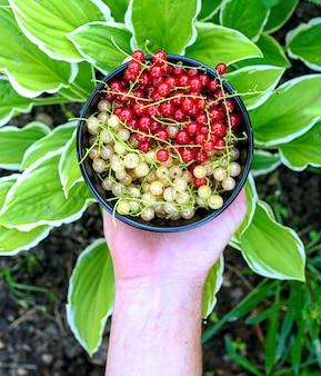 Męskie dłonie trzymające miskę z soczystymi organicznymi jagodami czerwonej i żółtej porzeczki