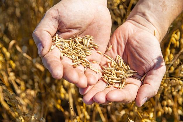 Męskie dłonie z dojrzałym ziarnem pszenicy na tle pola
