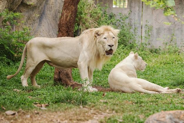 Męskie i żeńskie białe lwy odpoczynku