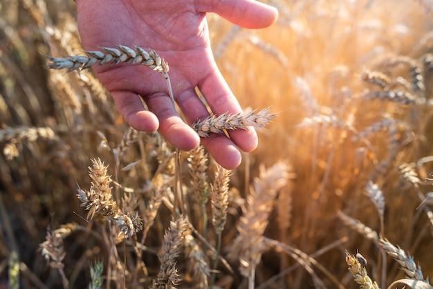 Męskiej dłoni ze złotymi kłosami pszenicy z bliska. koncepcja zbierania zbiorów