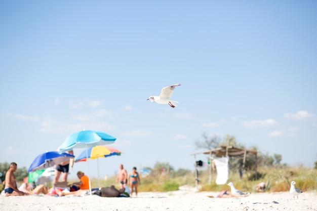 Mewa biała schodzi na dziką piaszczystą plażę w pobliżu morza czarnego