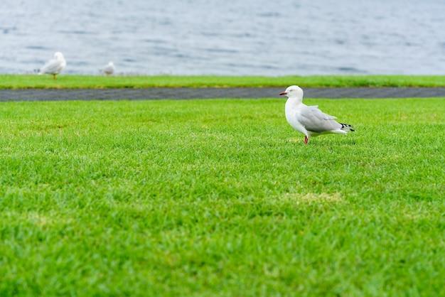 Mewa czerwonodzioba stojąca na trawach nad jeziorem taupo, wyspa północna nowej zelandii