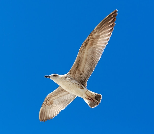 Mewa latająca na bezchmurnym niebie.