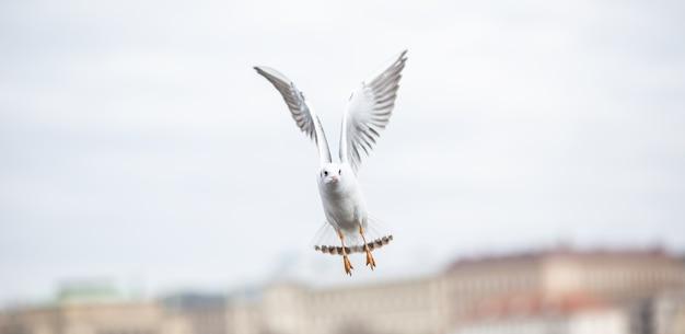 Mewa leci ze skrzydłami w środowisku miejskim.