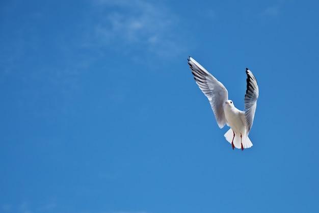 Mewa na błękitnym niebie z rozpostartymi skrzydłami