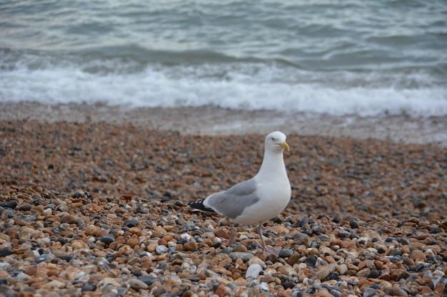 Mewa na kamienistej plaży, sussex, brighton. mewa stojąca na kamienistej plaży w promieniach słońca, morze w tle.