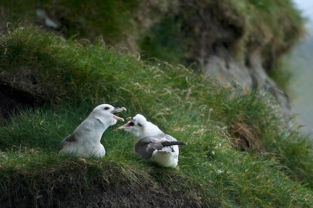 Mewa na mykines, wyspy owcze
