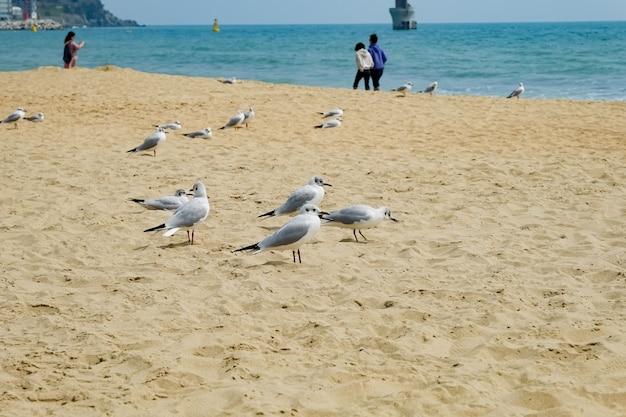 Mewa na plaży w busan, korea południowa