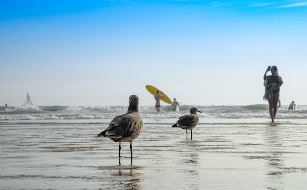 Mewa na publicznej plaży nad oceanem obserwująca kąpanie się ludzi i surferów