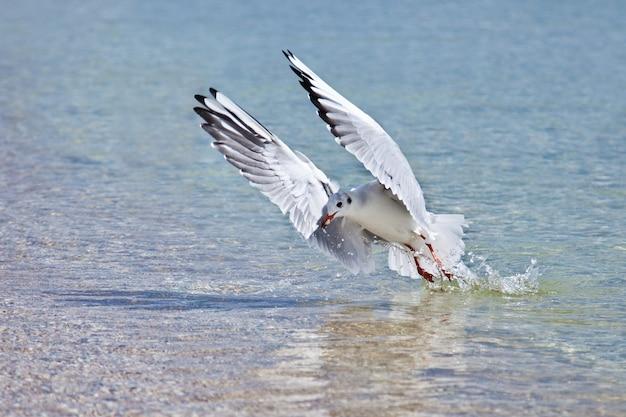 Mewa na tle powierzchni wody z rozpostartymi skrzydłami