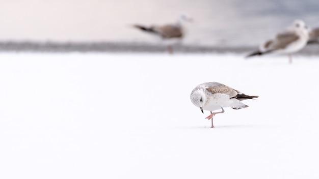 Mewa pospolita stojąca na śniegu z innymi chodzącymi mewami