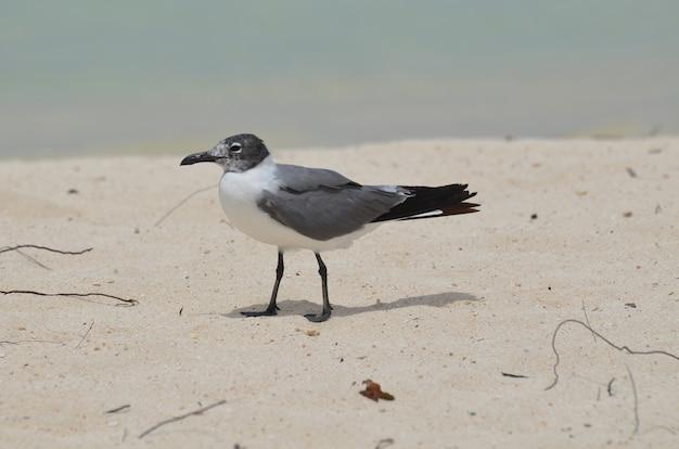 Mewa spacerująca po białej, piaszczystej plaży na karaibach