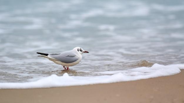 Mewa spacerująca wzdłuż morza