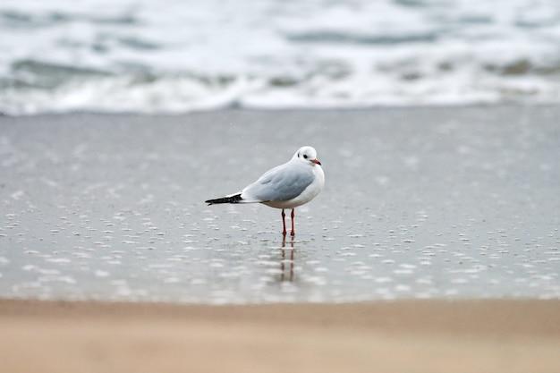 Mewa spacerująca wzdłuż morza.