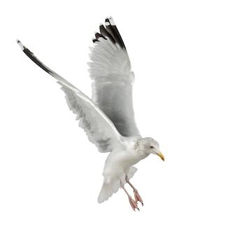 Mewa srebrzysta, larus argentatus, 4 lata, latający na tle białej powierzchni