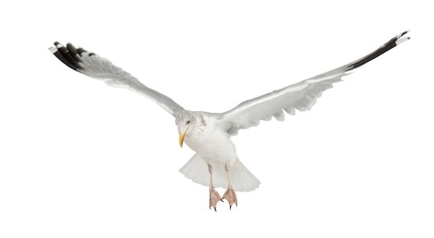 Mewa srebrzysta larus argentatus latający na białym tle