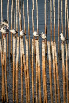 Mewa stojący na bambusie