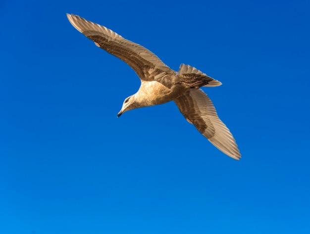 Mewa szara latająca na niebie nad morzem na letnie wakacje nad morzem