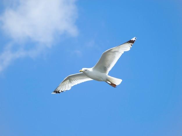 Mewa szybująca na błękitnym niebie