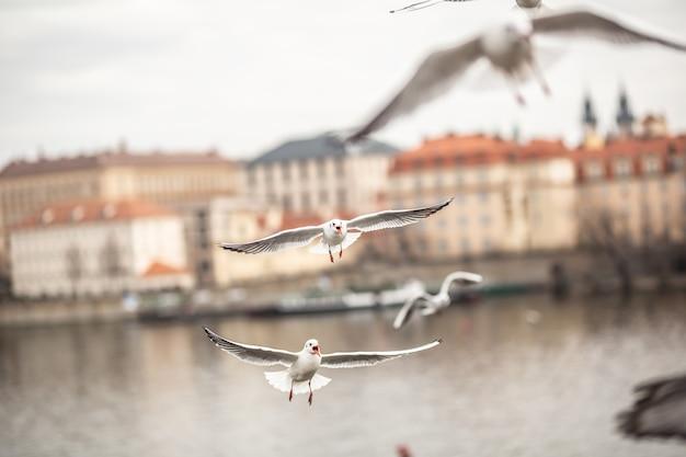 Mewy latające wewnątrz miasta wokół rzeki.