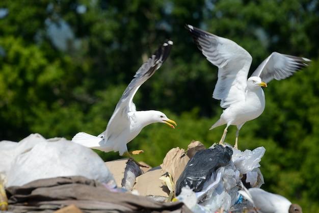 Mewy na plastiku w śmietniku