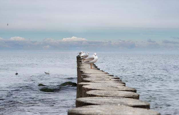 Mewy odpoczywają na drewnianym falochronie. morze bałtyckie.