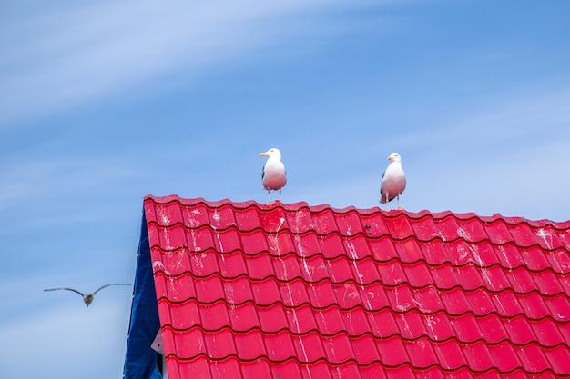 Mewy siedzą na czerwonym dachu