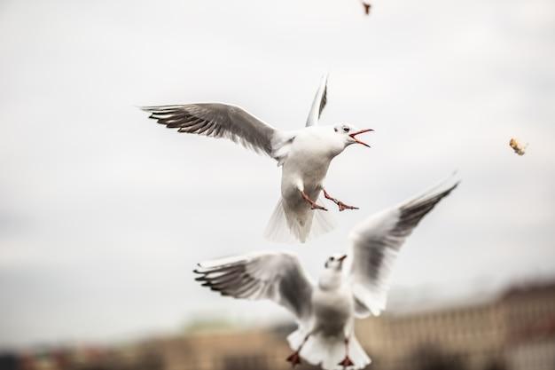 Mewy walczą o jedzenie w powietrzu w mieście.