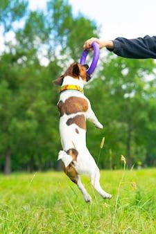 Mężczyzna bawi się ze swoim psem w zabawkowym psie w skoku w pionie zdjęcie psa jack russell ter...